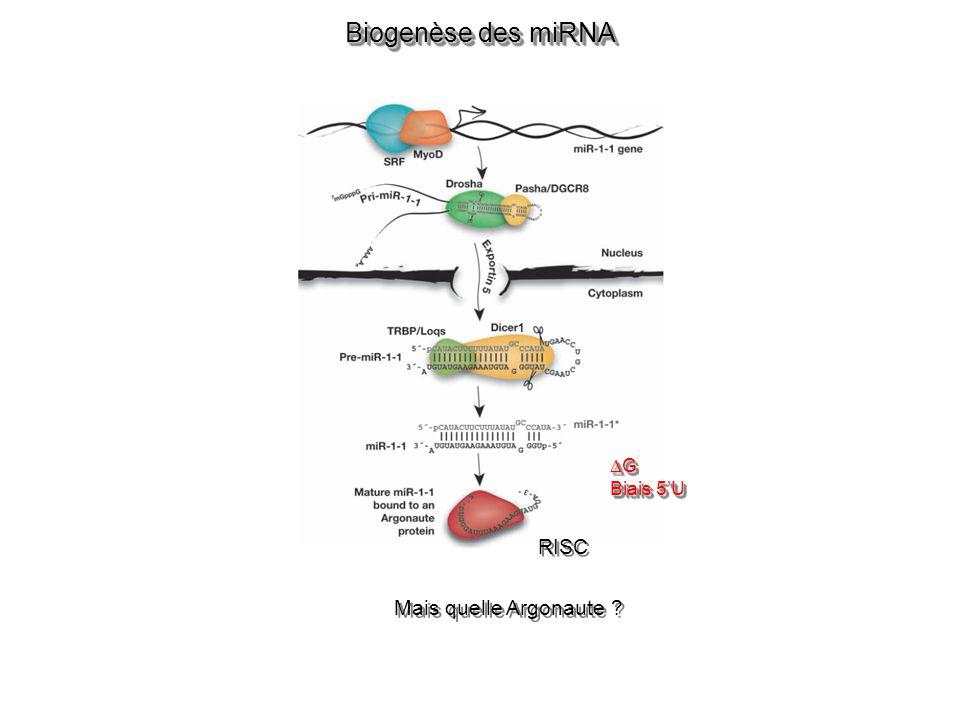 Biogenèse des miRNA Mais quelle Argonaute ? G Biais 5U G RISC 1