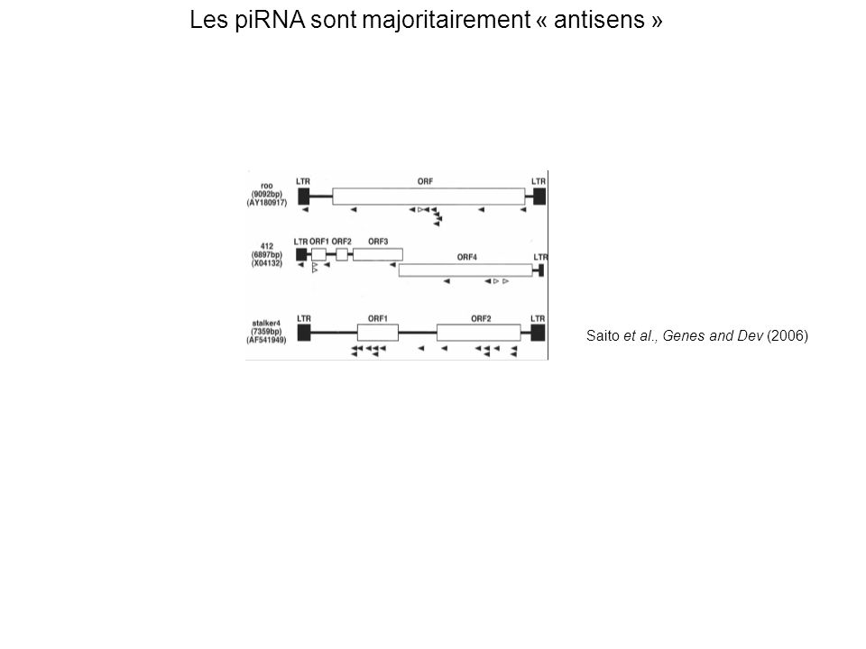 Saito et al., Genes and Dev (2006) Les piRNA sont majoritairement « antisens »