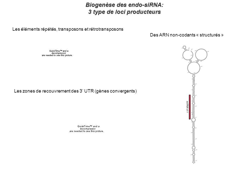 Biogenèse des endo-siRNA: 3 type de loci producteurs Les éléments répétés, transposons et rétrotransposons Les zones de recouvrement des 3 UTR (gènes convergents) Des ARN non-codants « structurés »