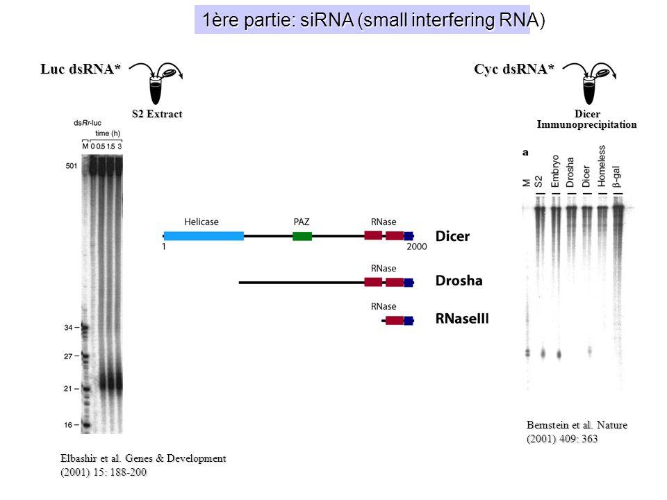 19 nucléotides double-brin 2 nucléotides débordants en 3(OH) Activité RNAi per se Activité séquence-spécifique Ciblent ARN sens et antisens 2-O-Met (in vivo) Caractéristiques des siRNA (O-Met-2) (2-O-Met)