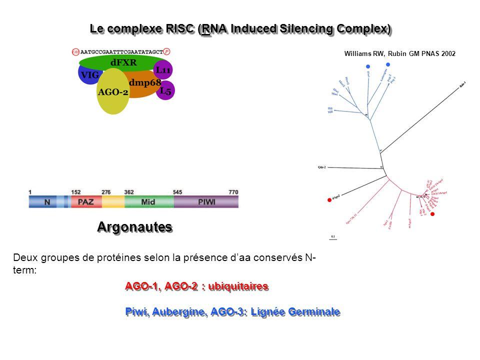 Le complexe RISC (RNA Induced Silencing Complex) Argonautes AGO-1, AGO-2 : ubiquitaires Piwi, Aubergine, AGO-3: Lignée Germinale AGO-1, AGO-2 : ubiquitaires Piwi, Aubergine, AGO-3: Lignée Germinale Deux groupes de protéines selon la présence daa conservés N- term: Williams RW, Rubin GM PNAS 2002