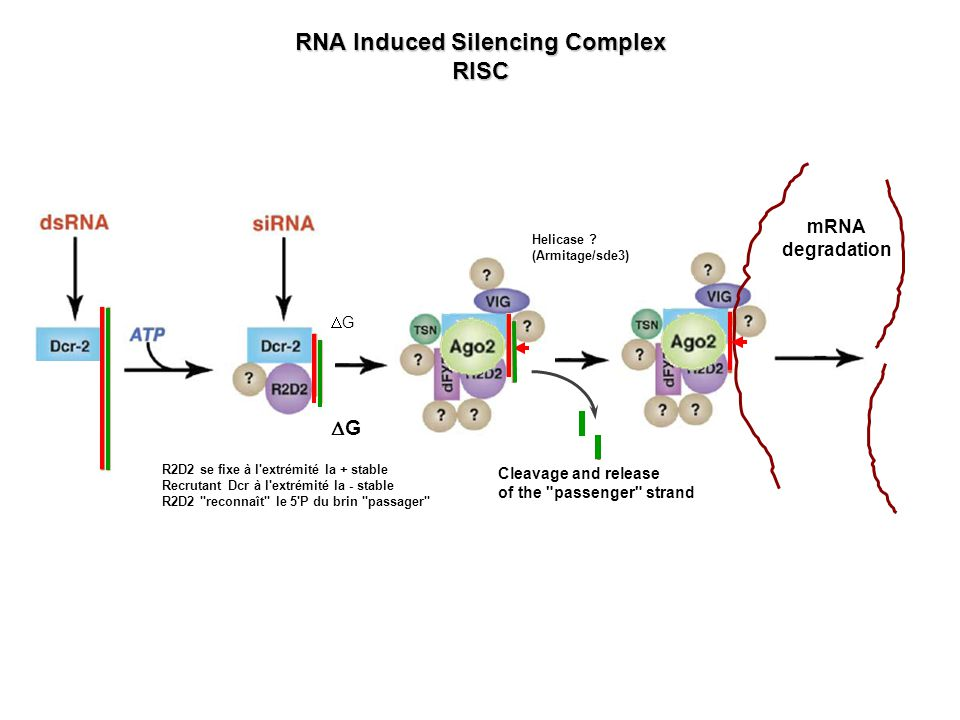 RNA Induced Silencing Complex RISC mRNA degradation Cleavage and release of the