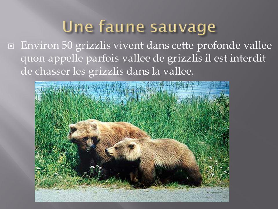 Environ 50 grizzlis vivent dans cette profonde vallee quon appelle parfois vallee de grizzlis il est interdit de chasser les grizzlis dans la vallee.