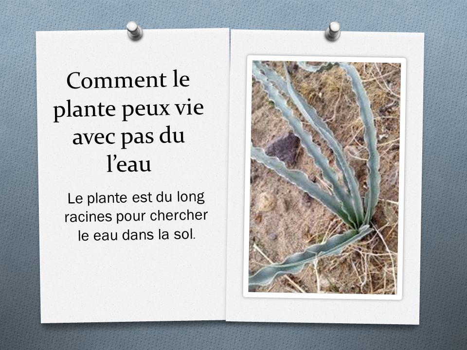 Comment le plante peux vie avec pas du leau Le plante est du long racines pour chercher le eau dans la sol.