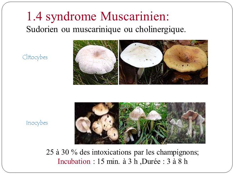 Clitocybes Inocybes 1.4 syndrome Muscarinien: Sudorien ou muscarinique ou cholinergique. 25 à 30 % des intoxications par les champignons; Incubation :