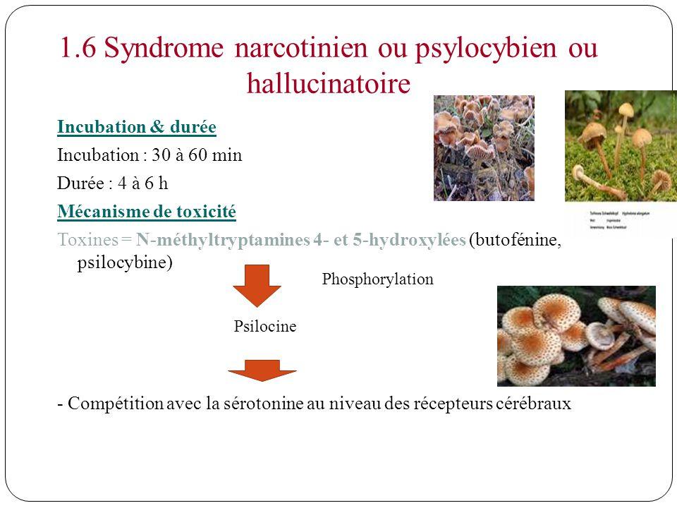 1.6 Syndrome narcotinien ou psylocybien ou hallucinatoire Incubation & durée Incubation : 30 à 60 min Durée : 4 à 6 h Mécanisme de toxicité Toxines =