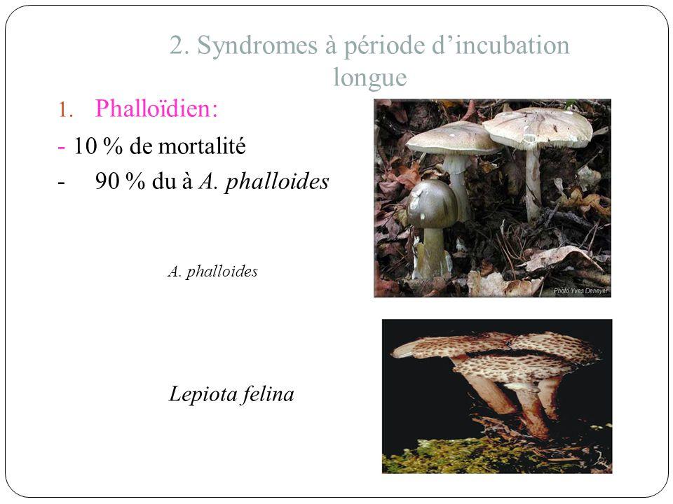 2. Syndromes à période dincubation longue 1. Phalloïdien: - 10 % de mortalité -90 % du à A. phalloides A. phalloides Lepiota felina