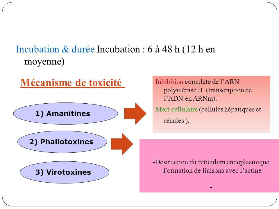 Incubation & durée Incubation : 6 à 48 h (12 h en moyenne) Mécanisme de toxicité 1) Amanitines 2) Phallotoxines 3) Virotoxines Inhibition complète de