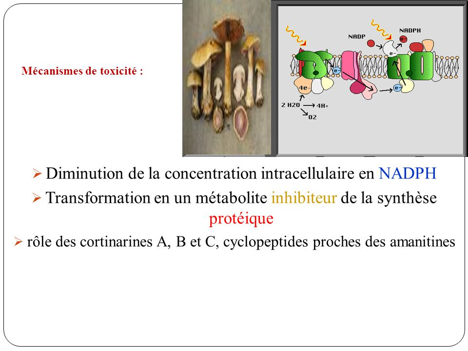 Diminution de la concentration intracellulaire en NADPH Transformation en un métabolite inhibiteur de la synthèse protéique rôle des cortinarines A, B et C, cyclopeptides proches des amanitines Mécanismes de toxicité :