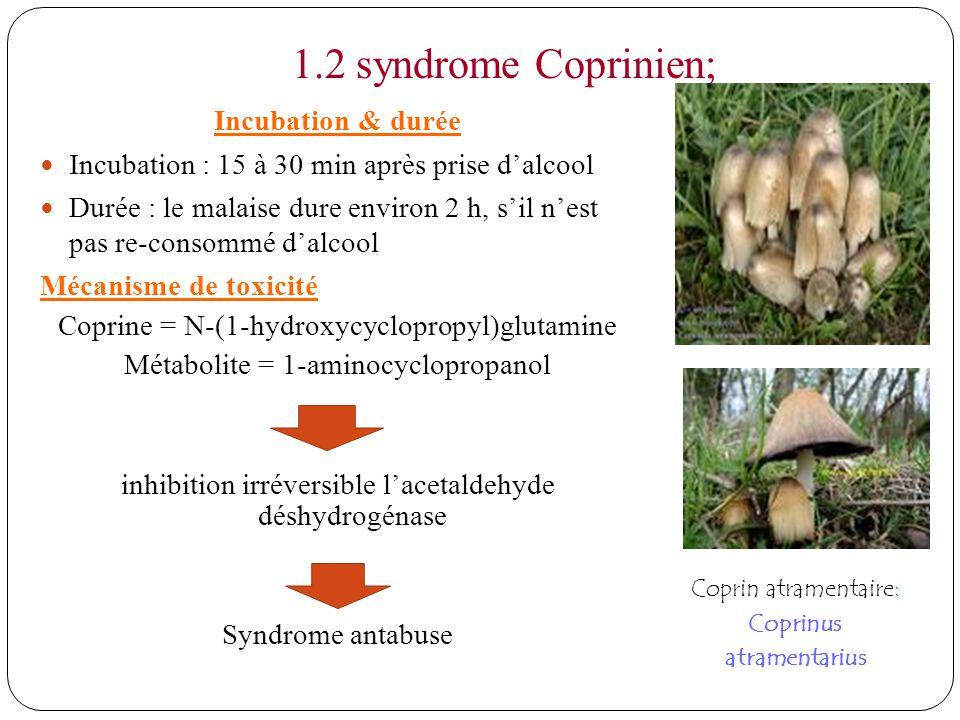 1.2 syndrome Coprinien; Incubation & durée Incubation : 15 à 30 min après prise dalcool Durée : le malaise dure environ 2 h, sil nest pas re-consommé dalcool Mécanisme de toxicité Coprine = N-(1-hydroxycyclopropyl)glutamine Métabolite = 1-aminocyclopropanol inhibition irréversible lacetaldehyde déshydrogénase Syndrome antabuse Coprin atramentaire: Coprinus atramentarius