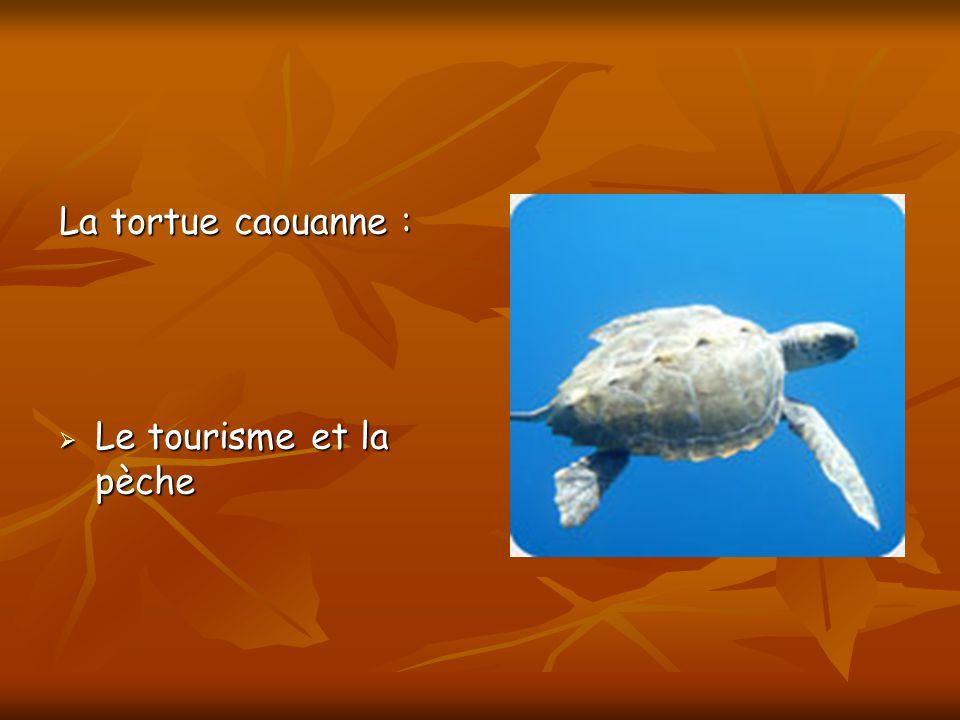 La tortue caouanne : Le tourisme et la pèche Le tourisme et la pèche