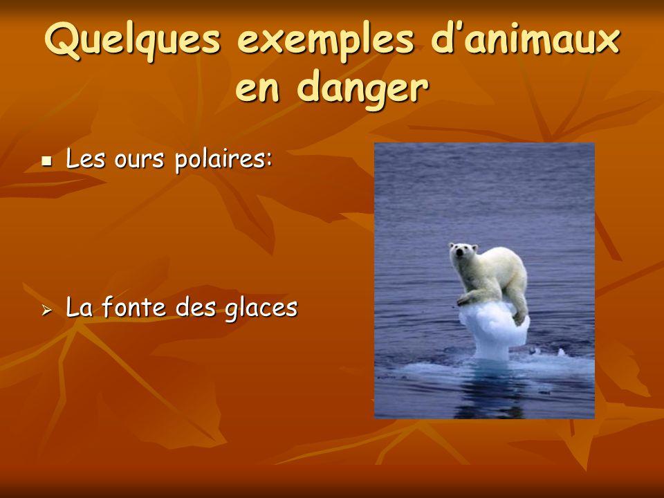 Quelques exemples danimaux en danger Les ours polaires: Les ours polaires: La fonte des glaces La fonte des glaces