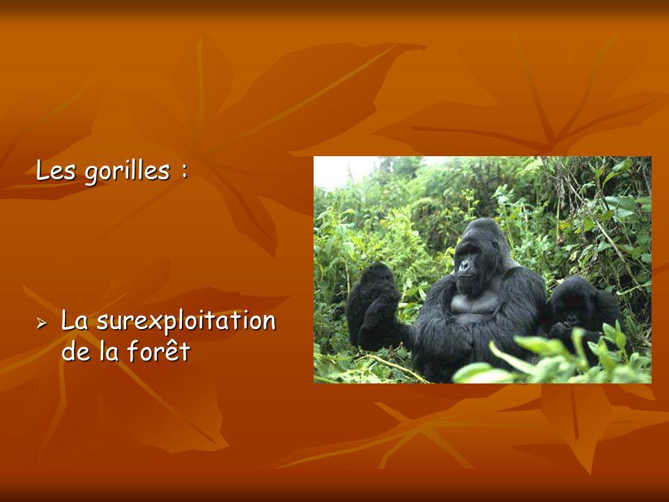 Les gorilles : La surexploitation de la forêt La surexploitation de la forêt