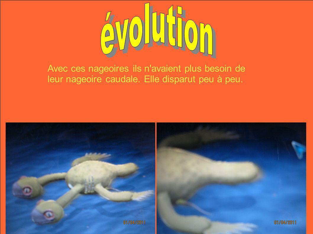 Avec ces nageoires ils n'avaient plus besoin de leur nageoire caudale. Elle disparut peu à peu.