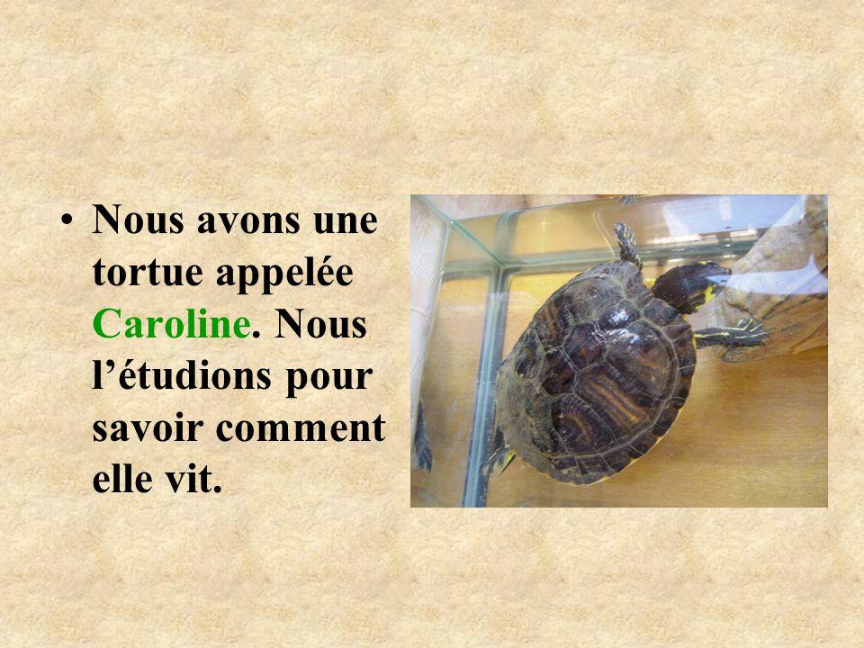 Nous avons une tortue appelée Caroline. Nous létudions pour savoir comment elle vit.
