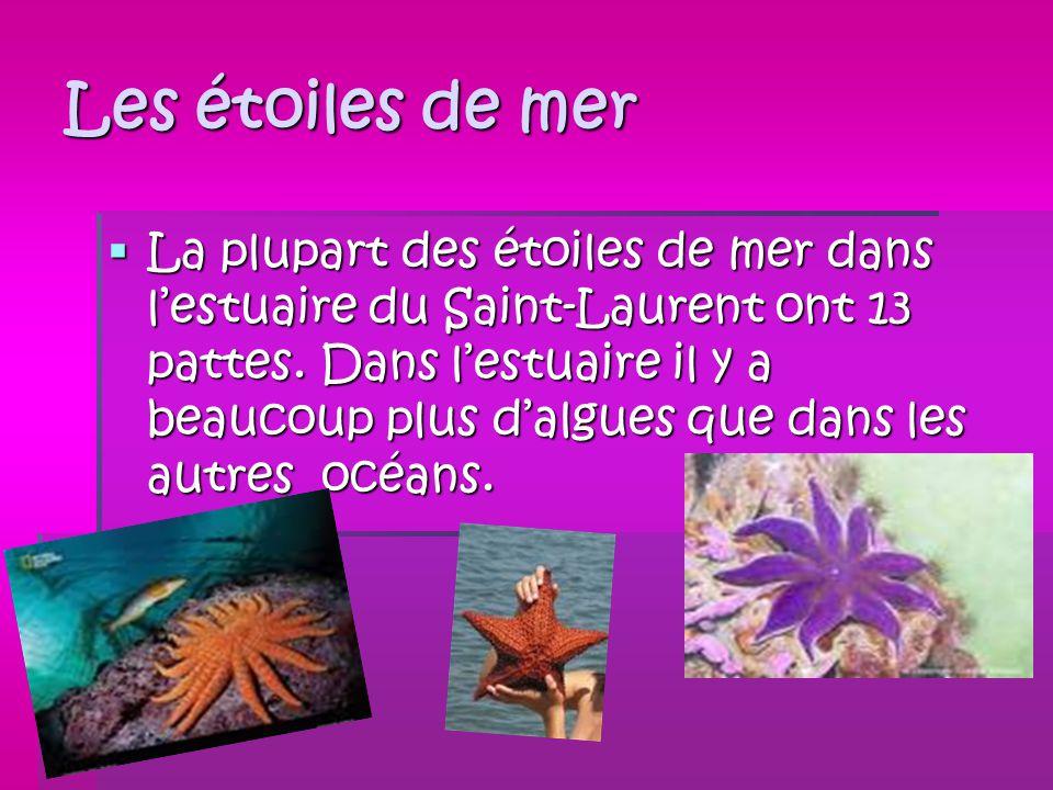 Les étoiles de mer La plupart des étoiles de mer dans lestuaire du Saint-Laurent ont 13 pattes. Dans lestuaire il y a beaucoup plus dalgues que dans l