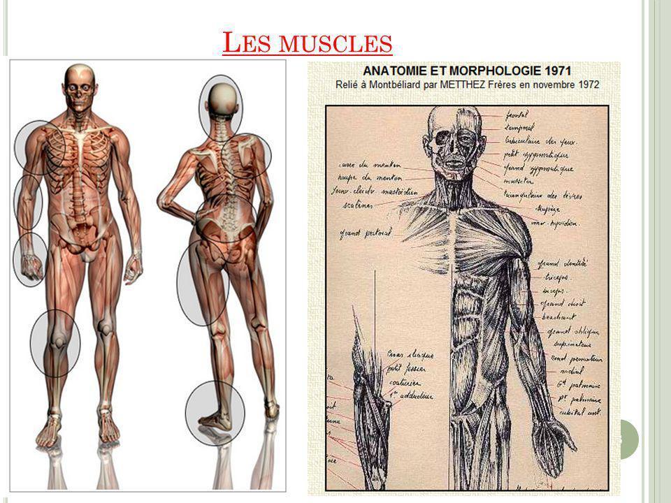 L ES MUSCLES 3