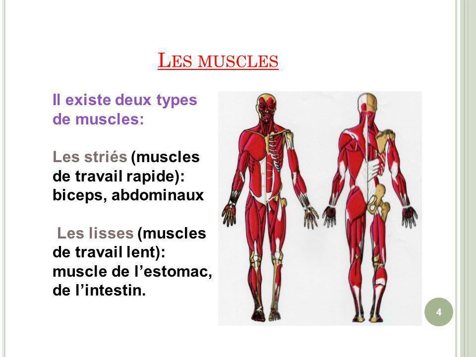 4 Il existe deux types de muscles: Les striés (muscles de travail rapide): biceps, abdominaux Les lisses (muscles de travail lent): muscle de lestomac, de lintestin.