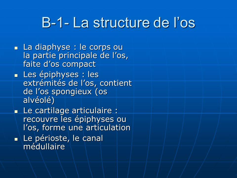 B-1- La structure de los La diaphyse : le corps ou la partie principale de los, faite dos compact La diaphyse : le corps ou la partie principale de lo