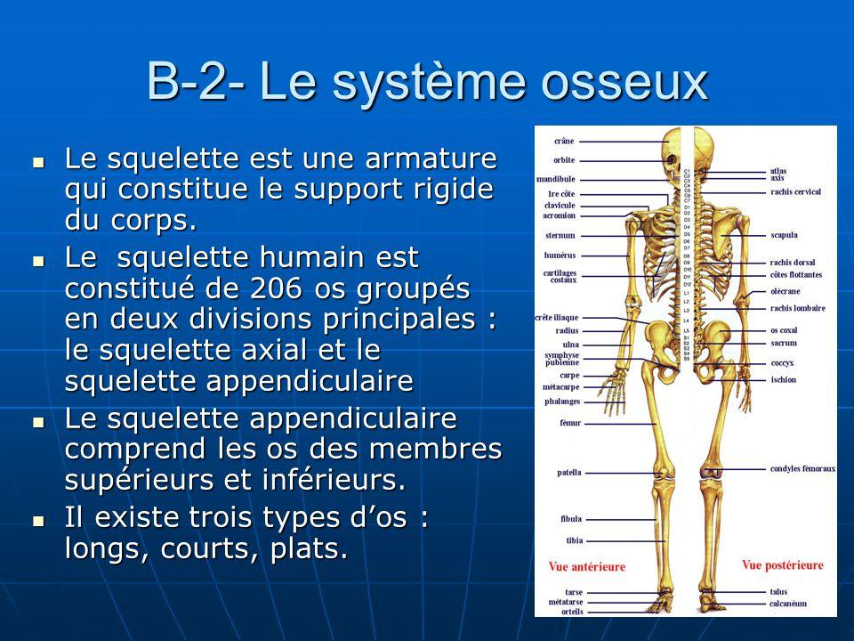 B-2- Le système osseux Le squelette est une armature qui constitue le support rigide du corps. Le squelette est une armature qui constitue le support