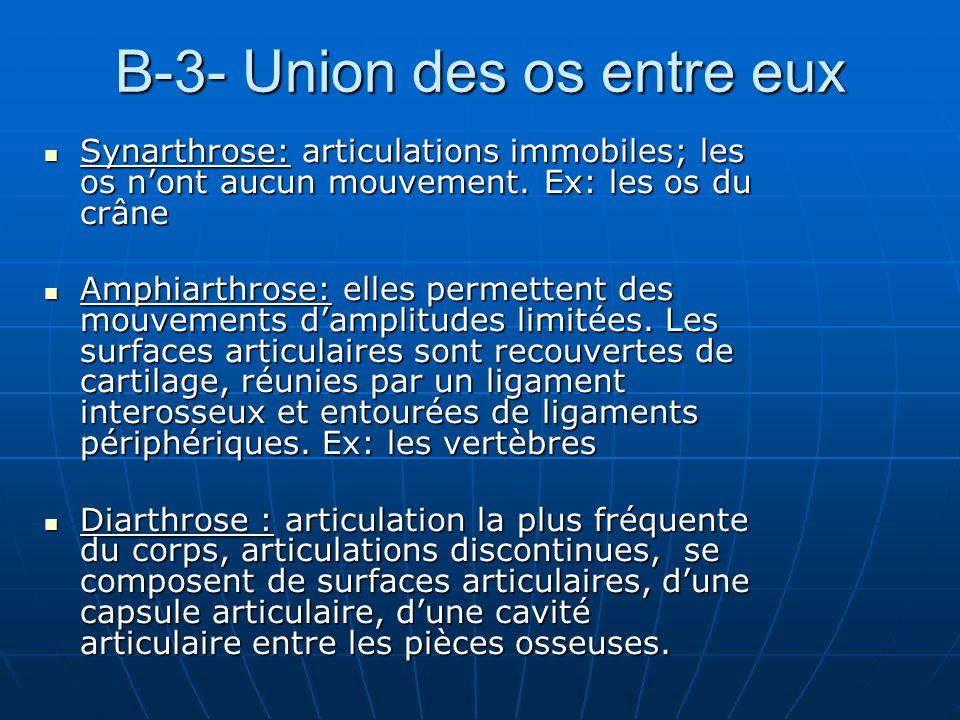 B-3- Union des os entre eux Synarthrose: articulations immobiles; les os nont aucun mouvement. Ex: les os du crâne Synarthrose: articulations immobile