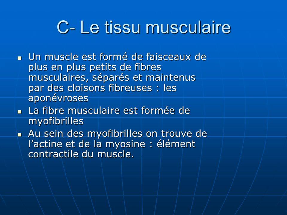 C- Le tissu musculaire Un muscle est formé de faisceaux de plus en plus petits de fibres musculaires, séparés et maintenus par des cloisons fibreuses