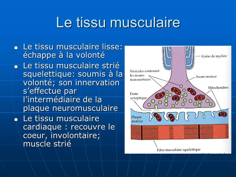 Le tissu musculaire lisse: échappe à la volonté Le tissu musculaire lisse: échappe à la volonté Le tissu musculaire strié squelettique: soumis à la vo