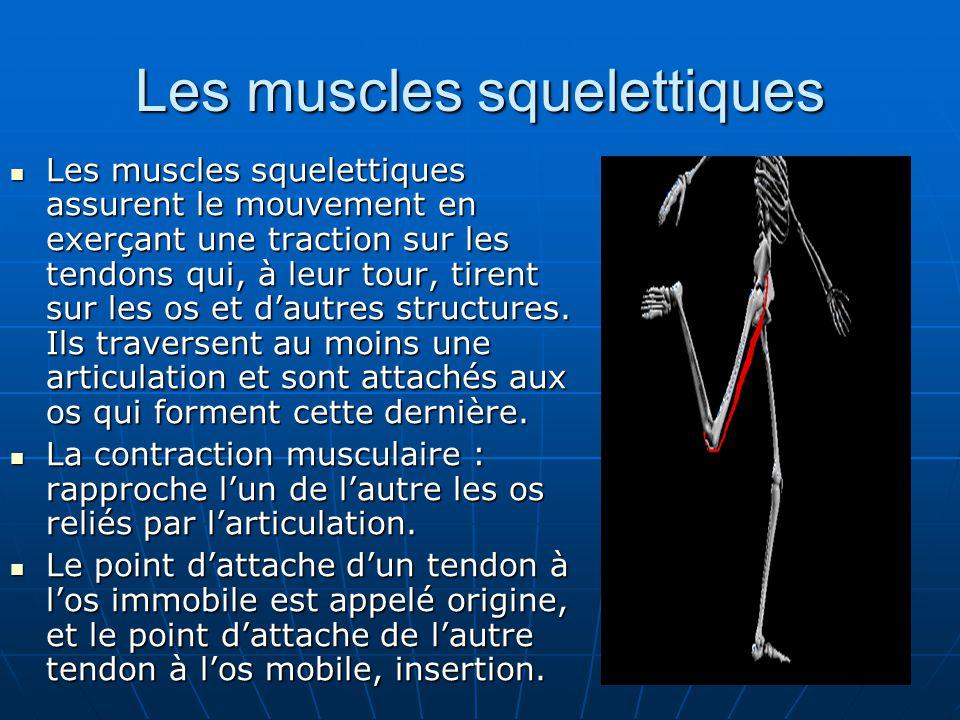 Les muscles squelettiques Les muscles squelettiques assurent le mouvement en exerçant une traction sur les tendons qui, à leur tour, tirent sur les os