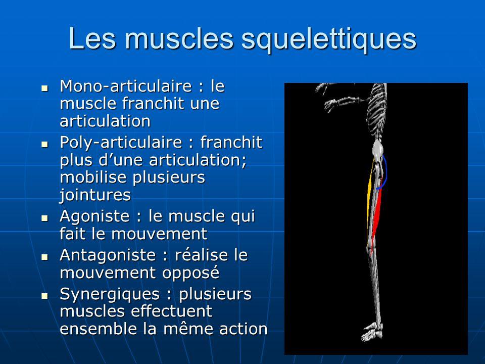 Les muscles squelettiques Mono-articulaire : le muscle franchit une articulation Mono-articulaire : le muscle franchit une articulation Poly-articulai