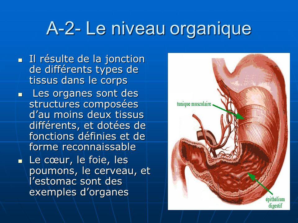 A-2- Le niveau organique Il résulte de la jonction de différents types de tissus dans le corps Il résulte de la jonction de différents types de tissus
