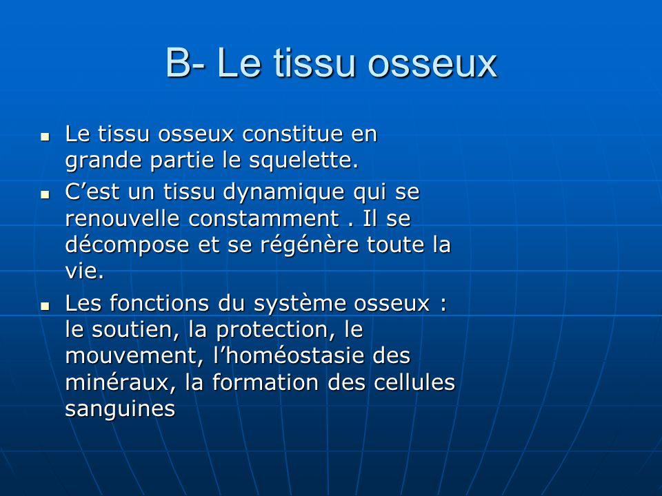 Le tissu osseux Le tissu osseux contient : une matrice constituée denviron 25% deau, 25% de fibres protéiques, 50% de sels minéraux et 4 types de cellules Le tissu osseux contient : une matrice constituée denviron 25% deau, 25% de fibres protéiques, 50% de sels minéraux et 4 types de cellules Les cellules ostéogènes, ostéoblastes, ostéocytes et ostéoclastes Les cellules ostéogènes, ostéoblastes, ostéocytes et ostéoclastes Le nombre de cellules est plus important dans los immature que los mur.