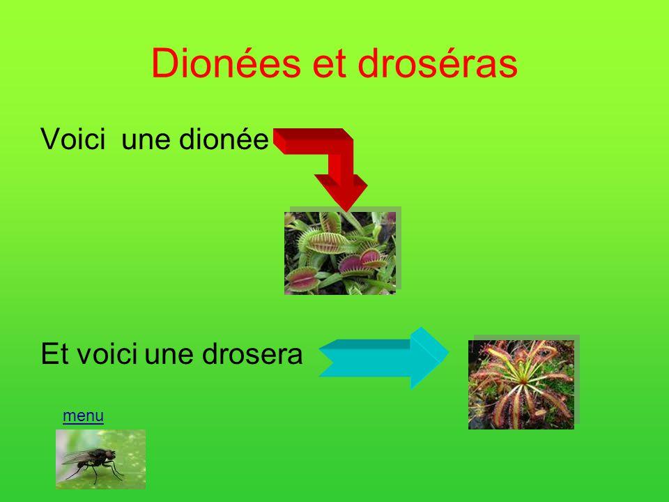 Les plantes carnivores. Dionées et droséra Népenthes Quizz