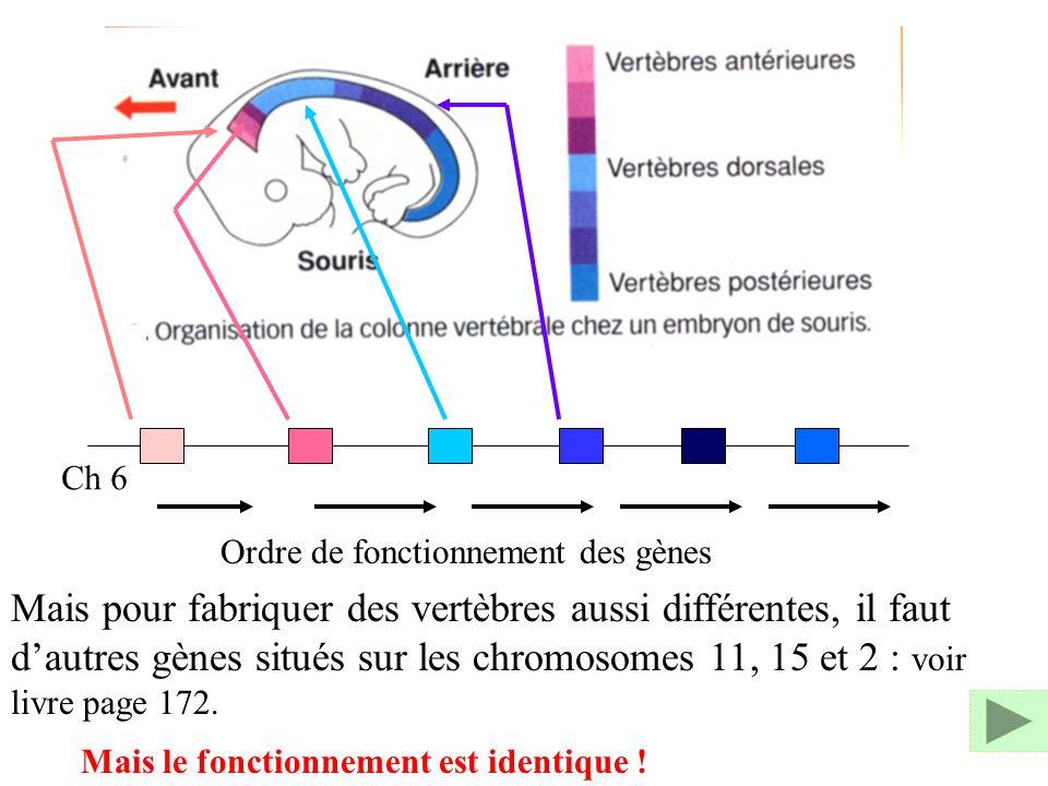 Ch 6 Ordre de fonctionnement des gènes Mais pour fabriquer des vertèbres aussi différentes, il faut dautres gènes situés sur les chromosomes 11, 15 et
