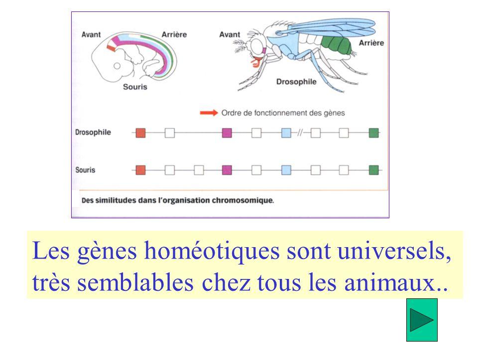 Les gènes homéotiques sont universels, très semblables chez tous les animaux..