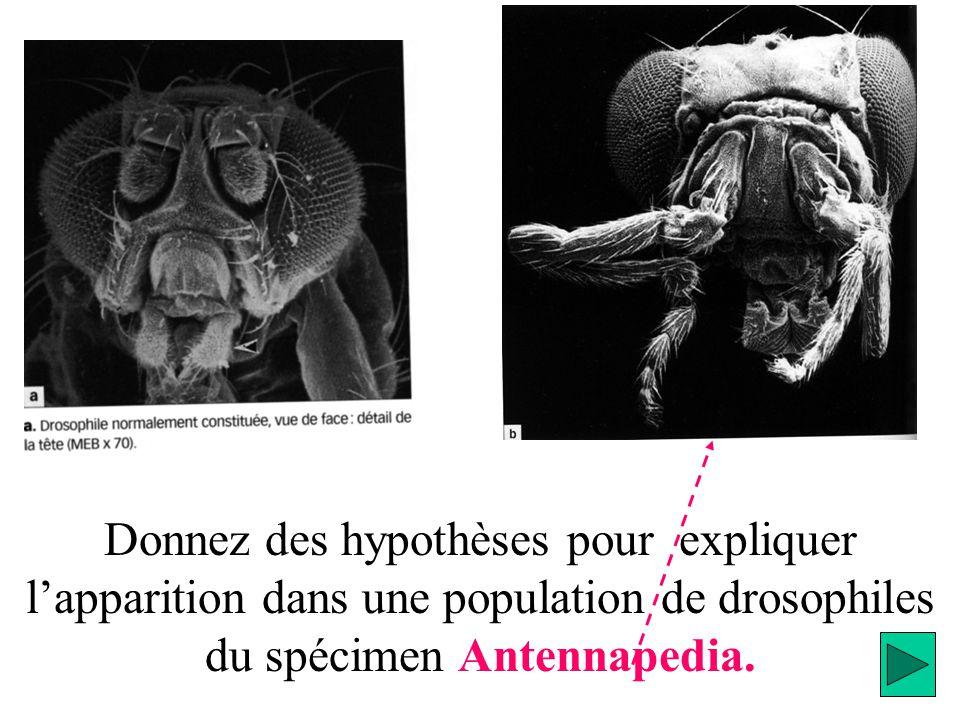 Donnez des hypothèses pour expliquer lapparition dans une population de drosophiles du spécimen Antennapedia.