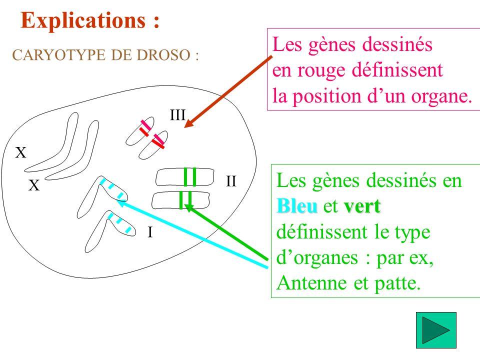 Explications : Les gènes dessinés en Bleuvert Bleu et vert définissent le type dorganes : par ex, Antenne et patte. Les gènes dessinés en rouge défini
