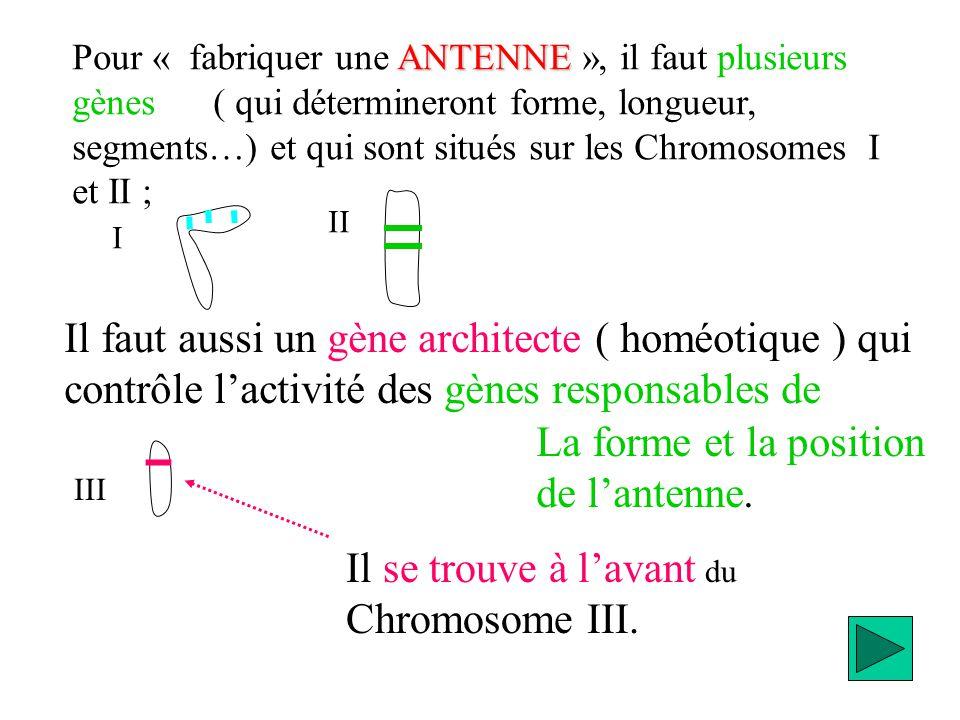 Pour « fabriquer une PATTE », il faut plusieurs gènes ( qui détermineront forme, longueur, segments…) et qui sont situés sur les Chromosomes I et II, différents des gènes responsables de lantenne ; Il faut aussi un gène architecte ( homéotique ) qui contrôle lactivité des gènes responsables de Lantenne.Il est en arrière du gène homéotique qui contrôle la patte .