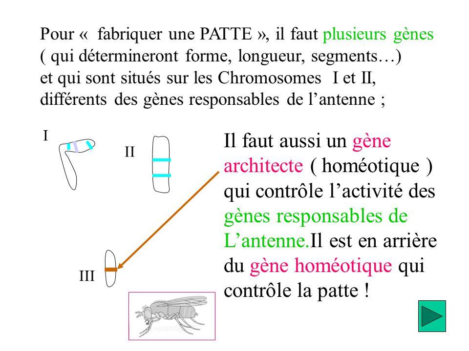 Pour « fabriquer une PATTE », il faut plusieurs gènes ( qui détermineront forme, longueur, segments…) et qui sont situés sur les Chromosomes I et II,