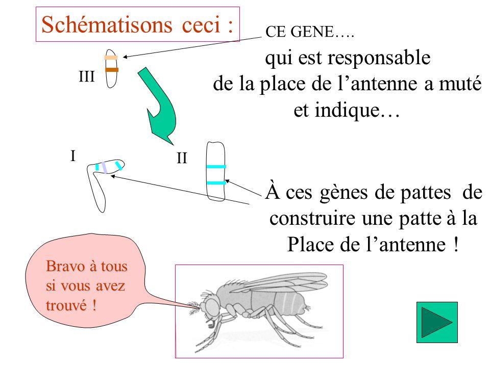 Schématisons ceci : III I II qui est responsable de la place de lantenne a muté et indique… À ces gènes de pattes de construire une patte à la Place d