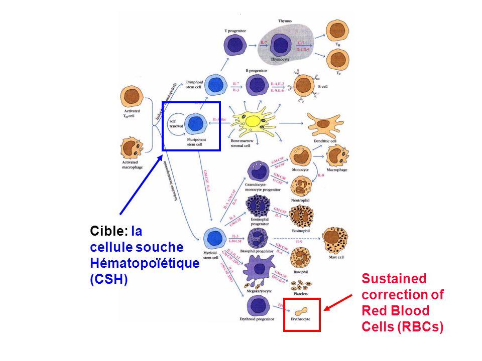 Cible: la cellule souche Hématopoïétique (CSH) Sustained correction of Red Blood Cells (RBCs)