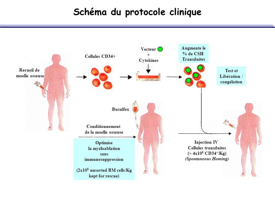 Schéma du protocole clinique Test et Libération / congélation Augmente le % de CSH Transduites Vecteur + Cytokines Recueil de moelle osseuse Optimise la myéloablation sans immunosuppression (2x10 8 unsorted BM cells/Kg kept for rescue) Conditionnement de la moelle osseuse Busulfex Injection IV Cellules transduites (> 4x10 6 CD34 + /Kg) (Spontaneous Homing) Cellules CD34+