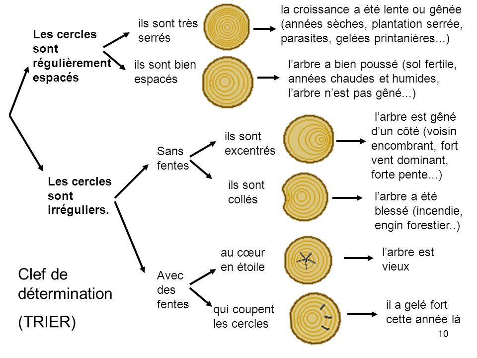 10 Les cercles sont régulièrement espacés Les cercles sont irréguliers. la croissance a été lente ou gênée (années sèches, plantation serrée, parasite