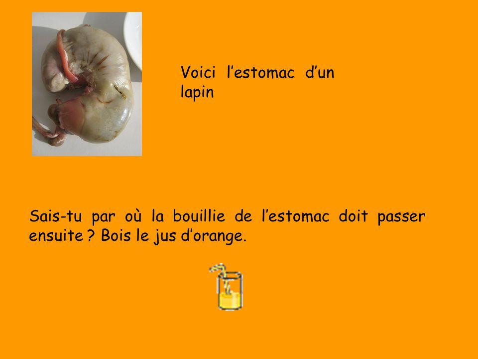 Sais-tu par où la bouillie de lestomac doit passer ensuite ? Bois le jus dorange. Voici lestomac dun lapin