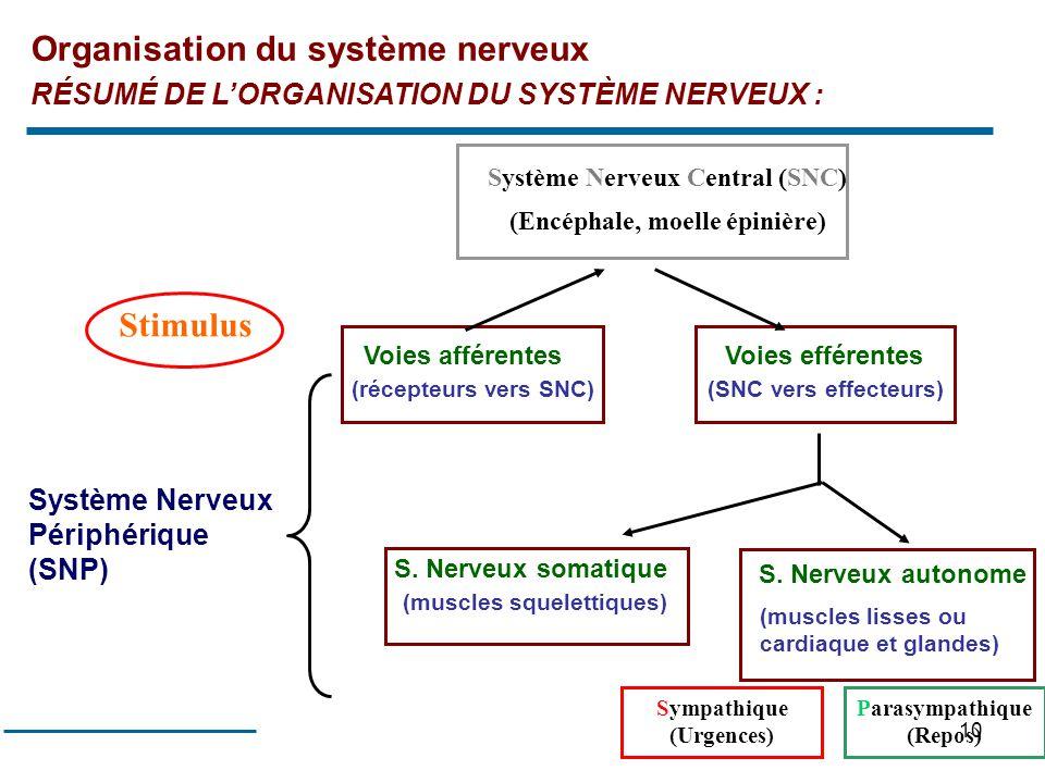 10 RÉSUMÉ DE LORGANISATION DU SYSTÈME NERVEUX : Voies afférentes (récepteurs vers SNC) Voies efférentes (SNC vers effecteurs) S. Nerveux somatique (mu