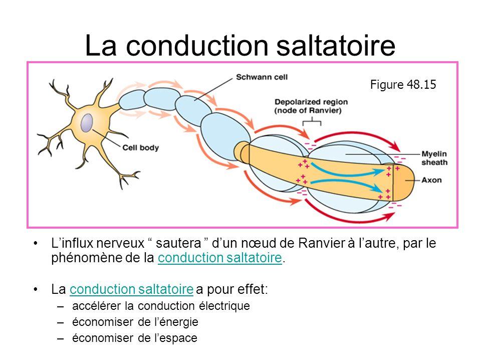 La conduction saltatoire Linflux nerveux sautera dun nœud de Ranvier à lautre, par le phénomène de la conduction saltatoire. La conduction saltatoire