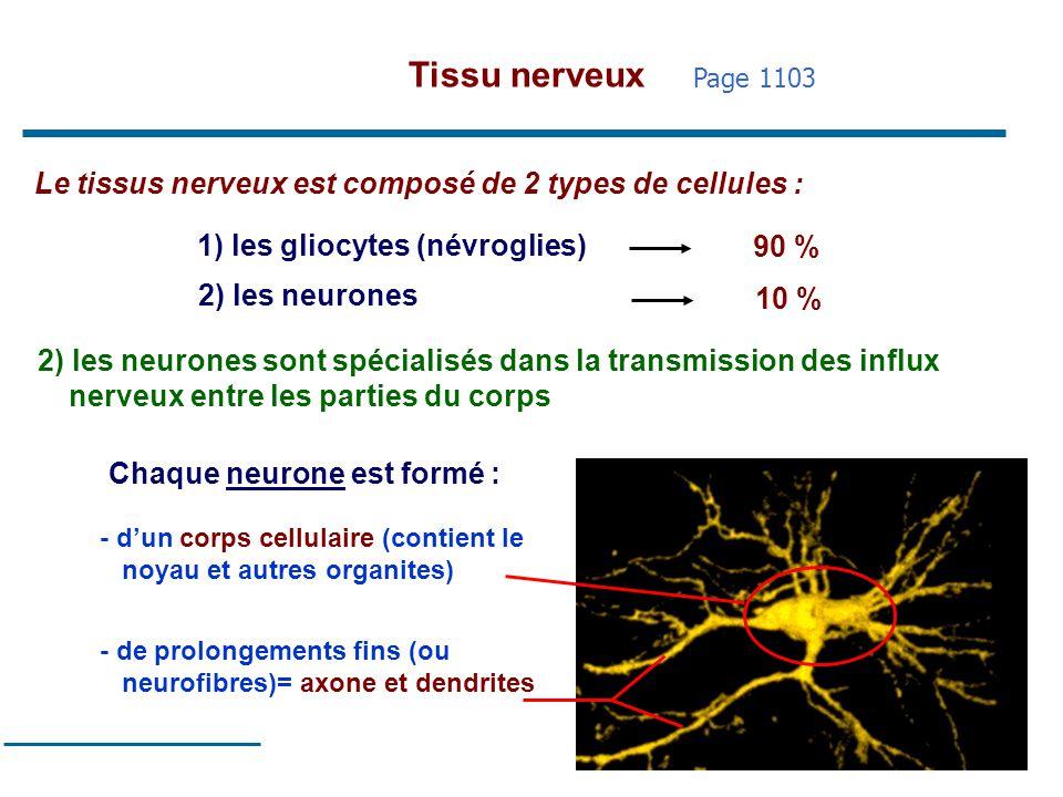 18 Le tissus nerveux est composé de 2 types de cellules : 1) les gliocytes (névroglies) 2) les neurones 90 % 10 % 2) les neurones sont spécialisés dan