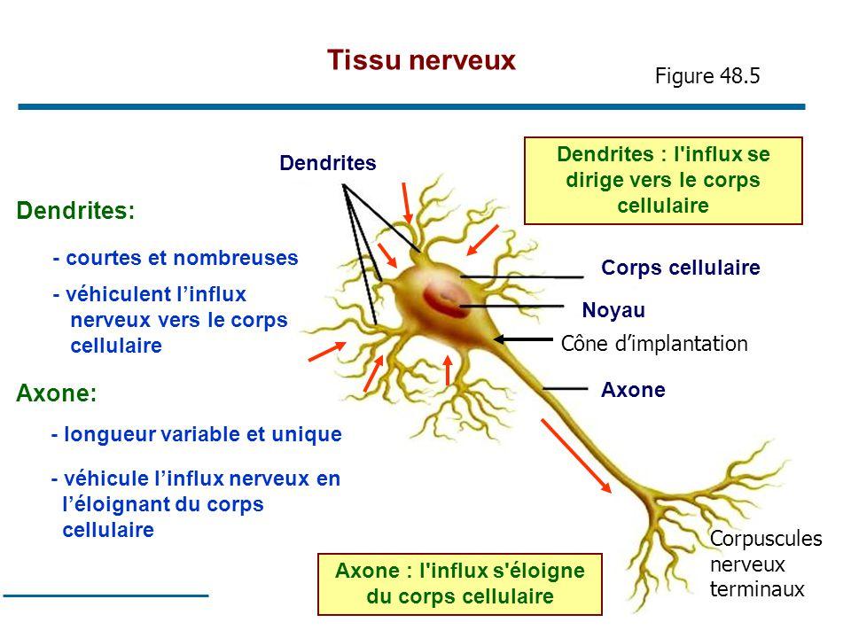 19 Corps cellulaire Noyau Axone Dendrites Dendrites : l'influx se dirige vers le corps cellulaire Axone : l'influx s'éloigne du corps cellulaire Dendr