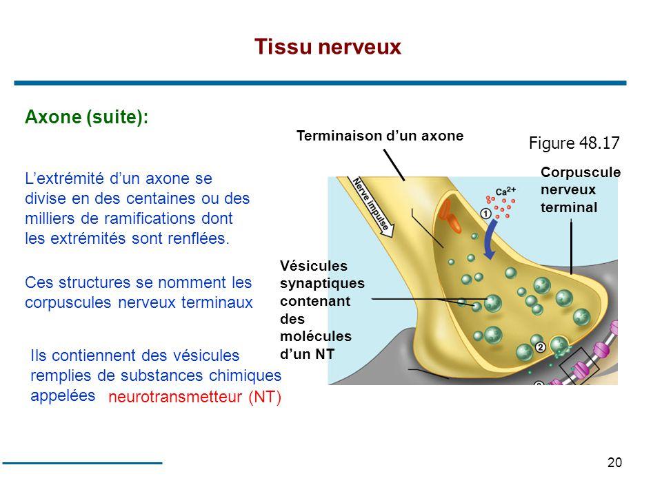 20 Tissu nerveux Axone (suite): Lextrémité dun axone se divise en des centaines ou des milliers de ramifications dont les extrémités sont renflées. Ce