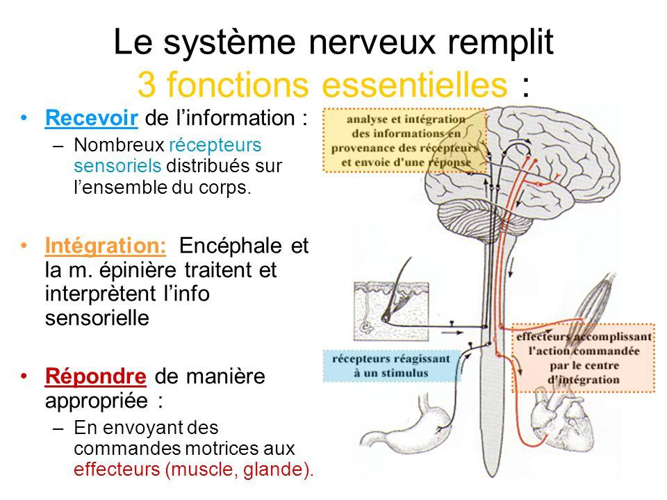 Le système nerveux remplit 3 fonctions essentielles : Recevoir de linformation : –Nombreux récepteurs sensoriels distribués sur lensemble du corps. In