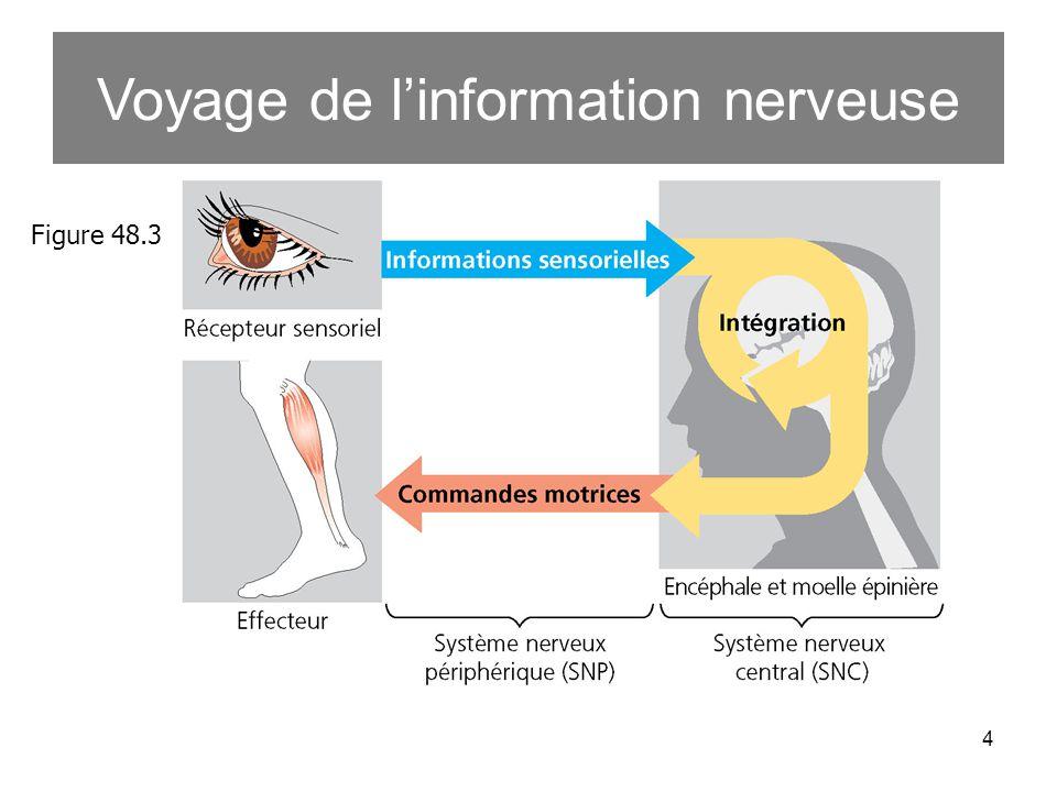 4 Voyage de linformation nerveuse Figure 48.3